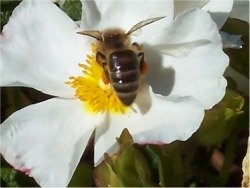 Foraging honey bees have to fly about 55,000 miles to produce a pound of honey, visiting around 2 million flowers.