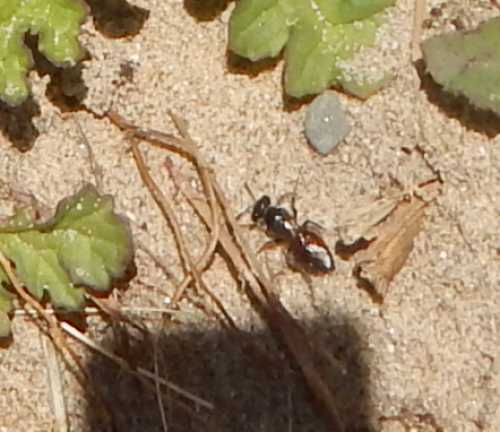 Above: Could this be <I>Sphecodes pellucidus</I>?