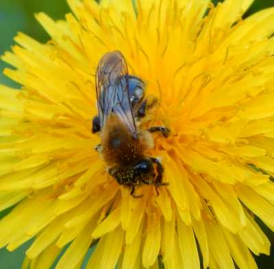 Grey-patched mining bee, Andrena nitida.