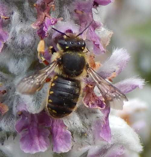 Wool Carder Bee, Anthidium manicatum female, on Lamb's Ear - Stachys byzantina.