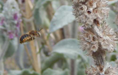 Wool carder bee male, patrolling a patch of Lamb's Ear.