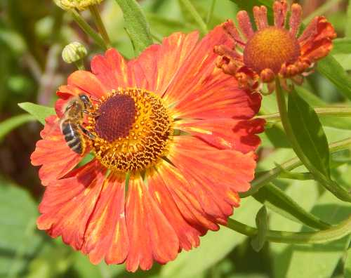 Gorgeous blooms to brighten up the flower border, sneezeweed feeds bees from summer through autumn.
