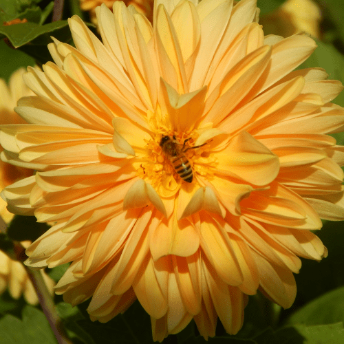 Flower heads can be showy with many petals, or simple, with fewer petals.