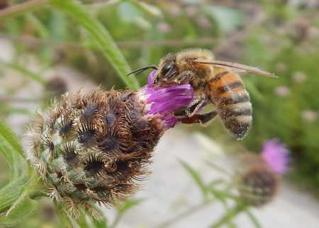Knapweed is popular with honey bees (<I>Apis mellifera</I>.