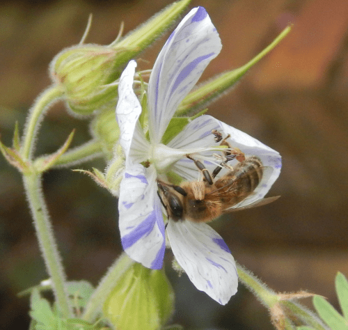 Honey bee - Apis mellifera on geranium flower.