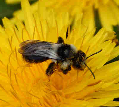 Ashy mining bee.