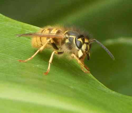 Wasp close up - note hairs on body, not usually visible at first glance.