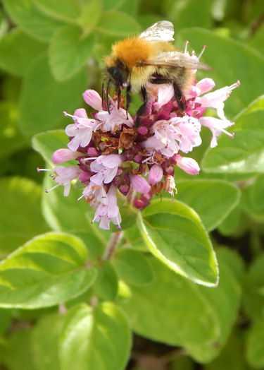 Bees love Oreganum!