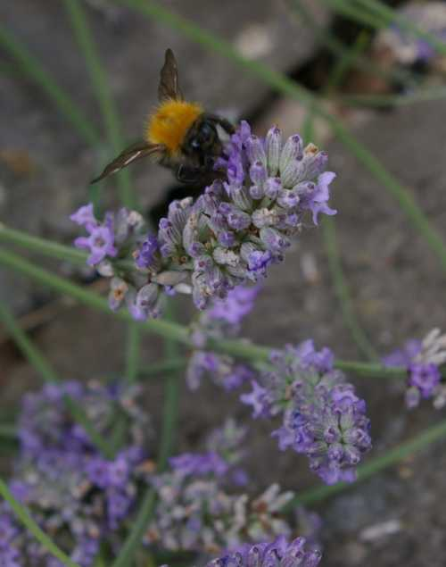 Bumble bees can quickly extract the nectar from lavender flowers because of their long tongues.