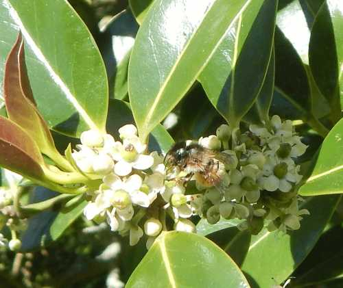 Bee foraging on holly flowers - Ilex.