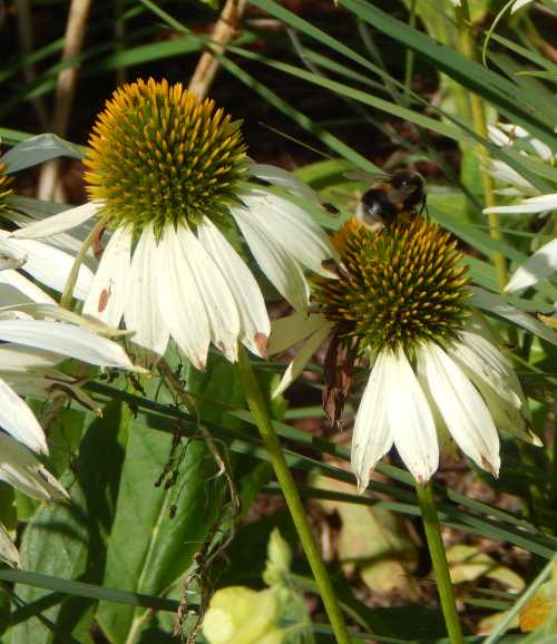 Echinacea - a must have for pollinator gardens.