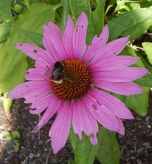 As far as I can make out, pretty much all Echinacea varieties are attractive to bees and butterflies,