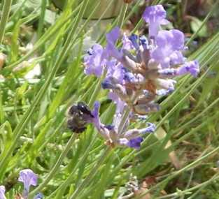 Blue mason bee on lavender flower.