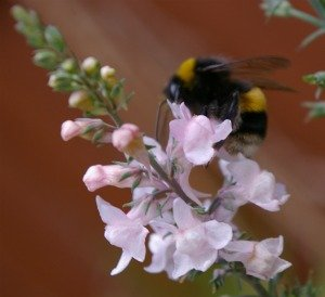 Purple toadflax is easy to grow from seed and bumble bees love it.