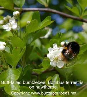 Bombus terrestris on hawthorne