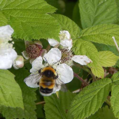 Bombus lucorum - white-tailed bumble bee male feeding on bramble.