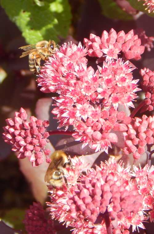 Plenty to go round!  Ice plant spreads nicely.  It's easy for bees to forage in close proximity.