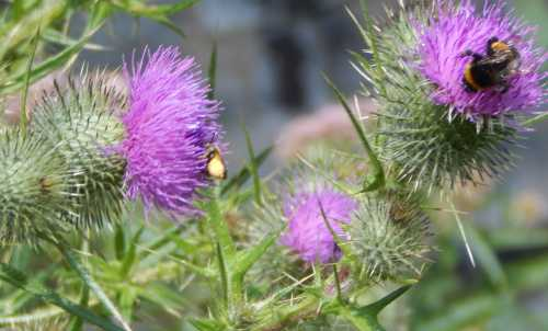 A bumble bee and a leafcutter bee foraging on thistles.