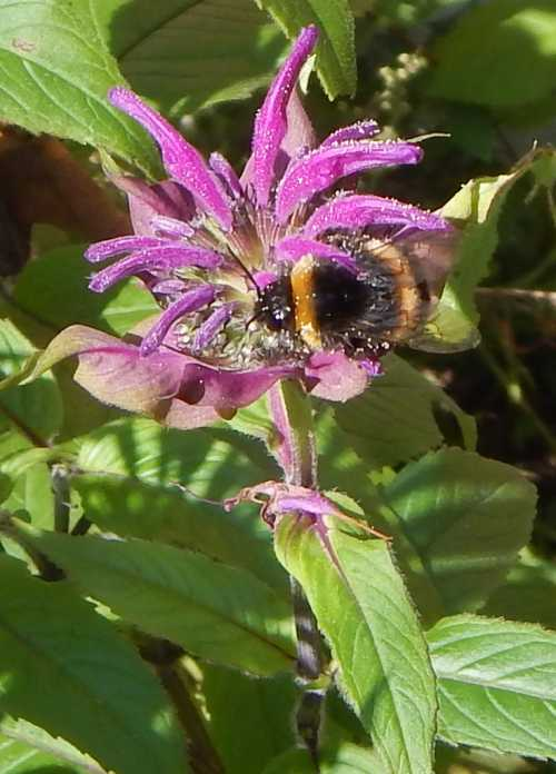 Bumble bee covered in pollen from bee balm.