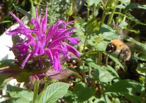 Bee balm (Monarda) is also known as 'bergamot'.