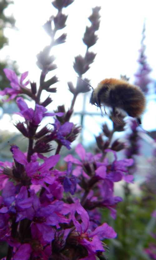 Bumble bee in flight toward purple loosestrife.