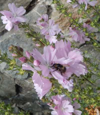 Mallows are great for bees of many species.