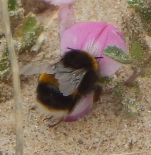Buff-tailed bumble bee on restharrow.