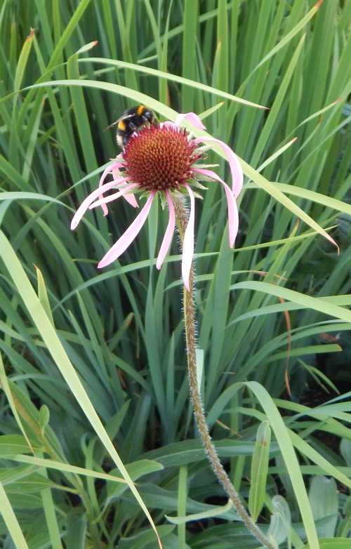 Echinacea have tall, sturdy stems, although compact varieties are available.