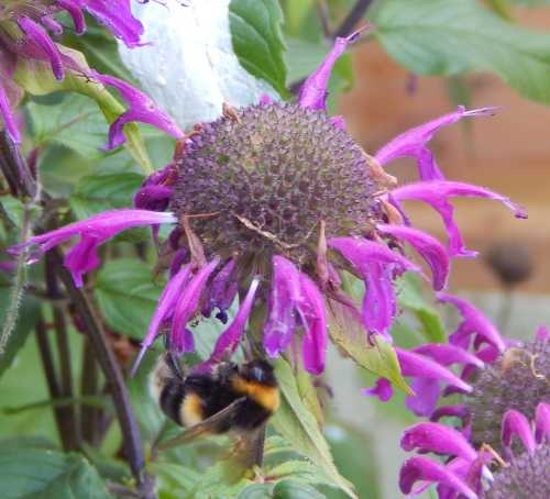 Bee balm is very popular with bees - especially bumble bees.