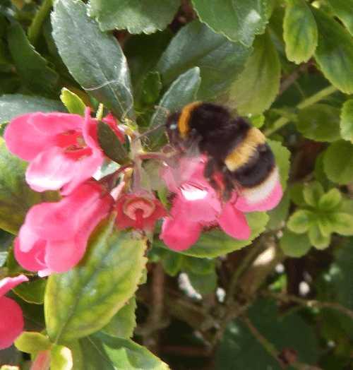 Bumble bee on escallonia.