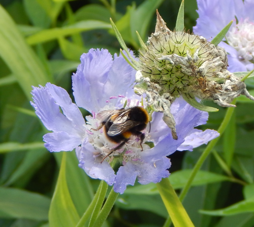 Bumble bee on Scabiosa - Pincushion flower.