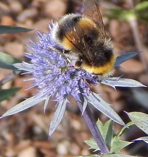 Bumble bee on sea holly.