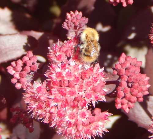 Worker bumble bee, foraging on ice plant and going about its business.