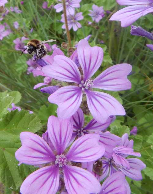Bumble bee foraging on Common Mallow - Malva sylvestris