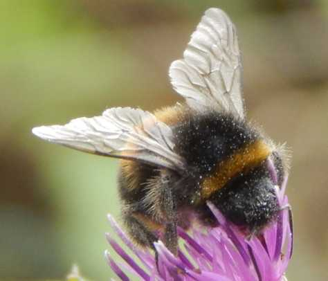 The hairy bodies of bees are often seen dusted with pollen.