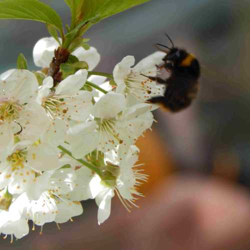 Bumble bee pollinating cherry blossom.