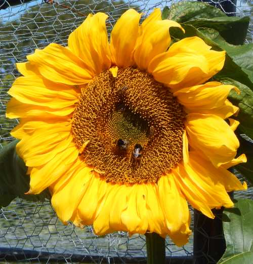 Everyone knows that bees like sunflowers.