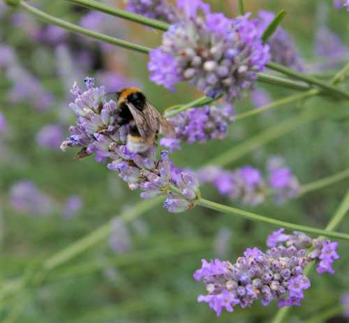 Bumble bee love the lavender in my garden.