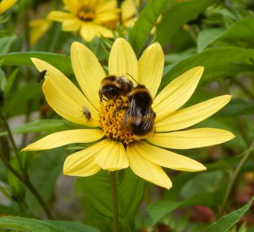 Bumble bees on Helianthus flowers.