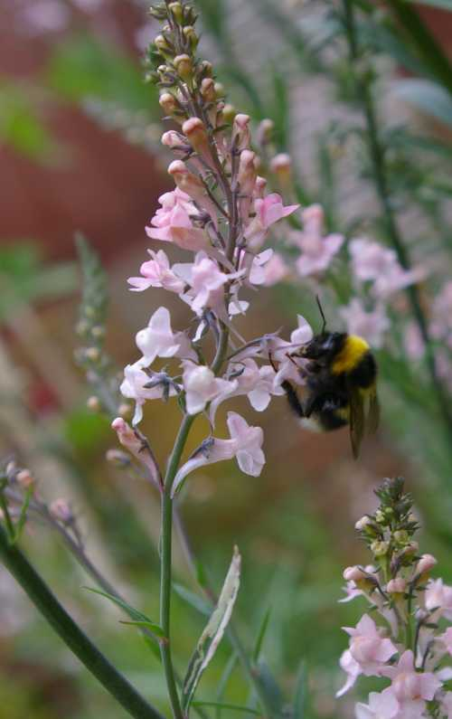 Bumble bee on toadflax.. This flowering plant self seeds freely, thus resulting in young plants that can be transferred to other parts of the garden, or shared with friends and neighbours.