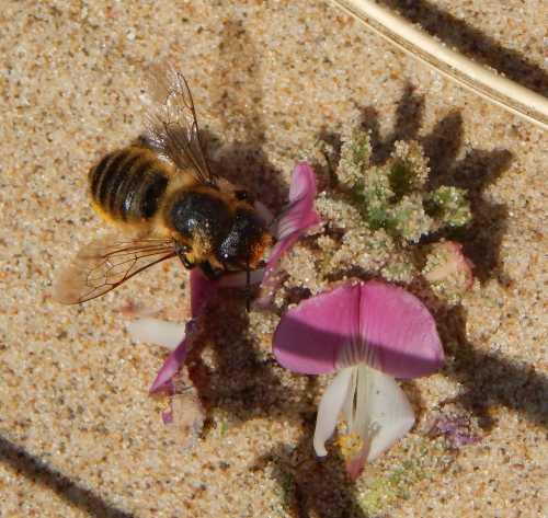 Coastal Leafcutter Bee - Megachile maritima - female - foraging on restharrow.
