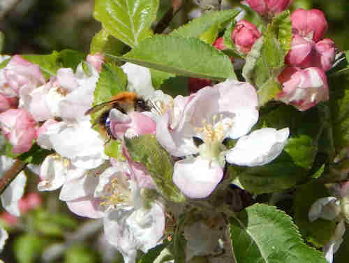 Bumble bee visiting apple blossom.