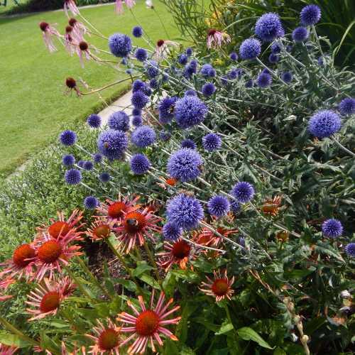 Echinacea look wonderful in a flower border.