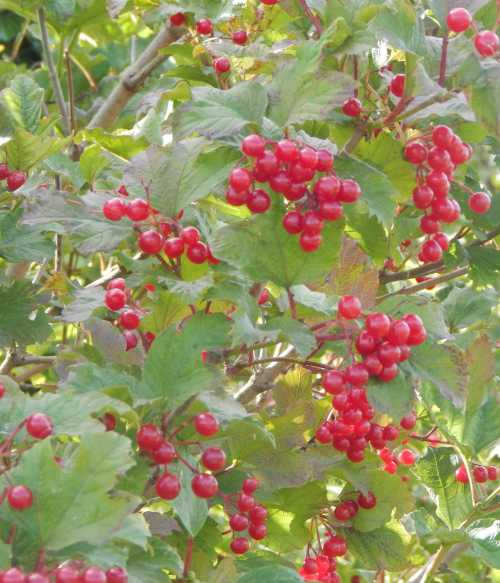 Guelder rose berries - a favourite with hungry birds in winter.