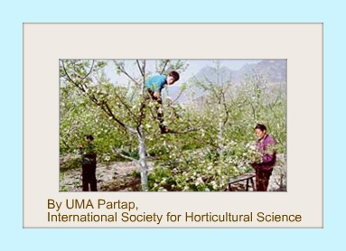 Humans hand pollinating pear trees in China.