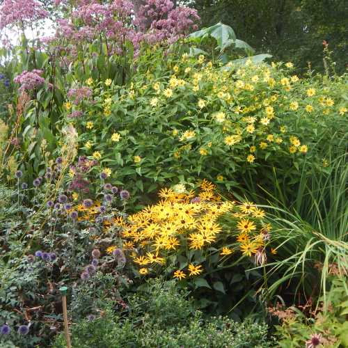 Helianthus 'Lemon Queen' at the rear of the flower border. In the foreground, Rudbeckia and Echinops
