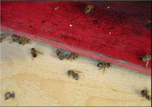 Dead bees at a hive in a field study by German beekeepers.
