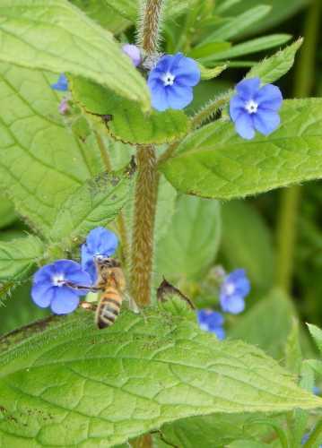 Honey bee - Apis mellifera on green alkanet.