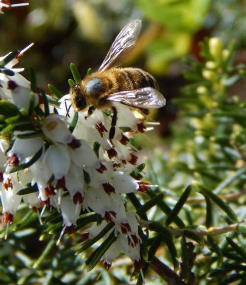 Apis mellifera - honey bee on Erica.