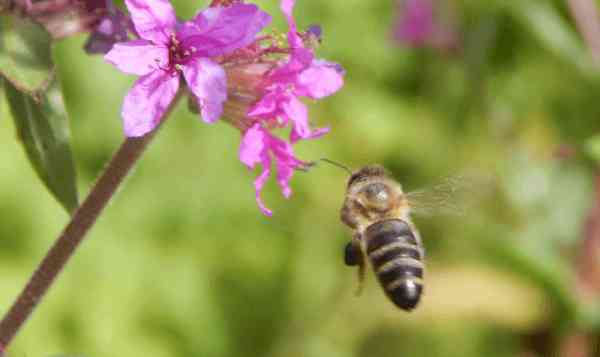 Honey bee buzzing toward purple loosestrife.